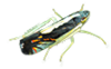Neotropical Leafhoppers